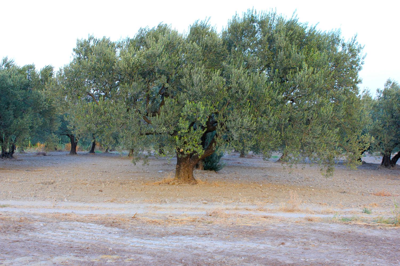 Red Olive - Olivenbaum