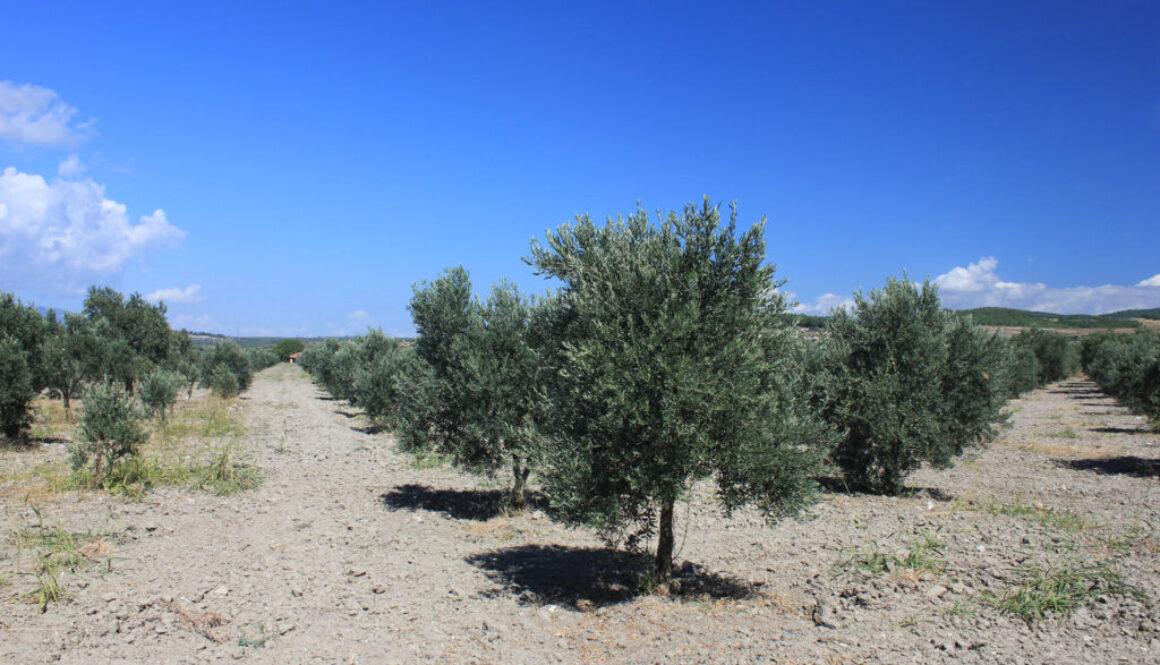 Red Olive - Olivenhain